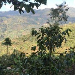 画像1: グアテマラ トゥウィハ農園